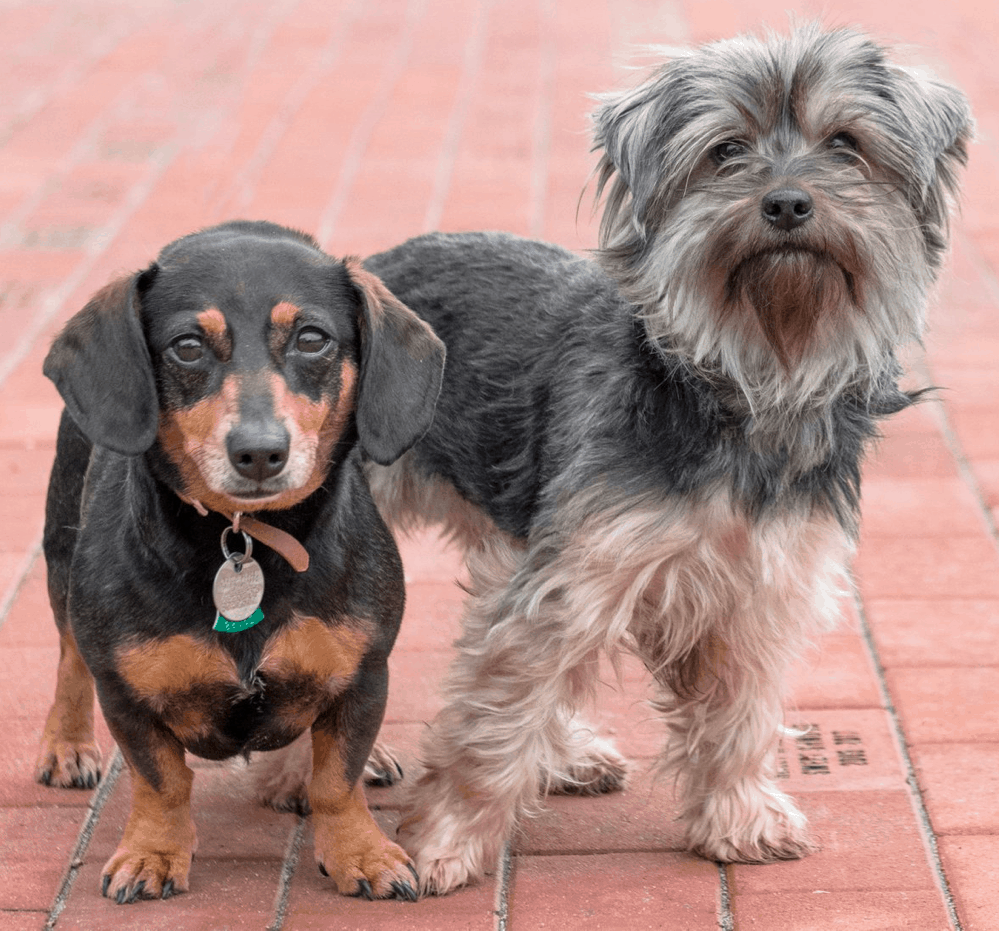 Dachshund and Yorkshire Terrier