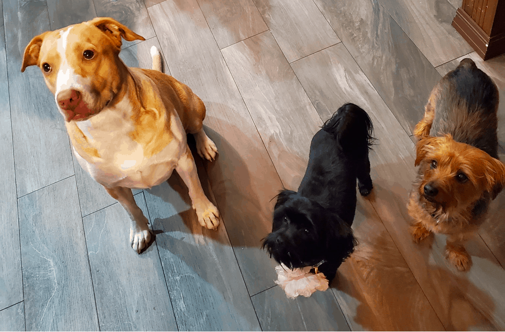 Dorkie get along with other pets