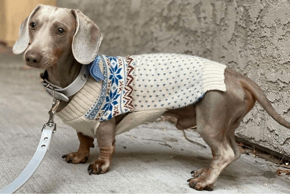 Isabella short haired dachshund