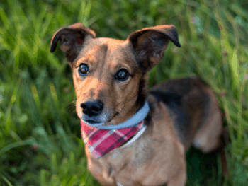 Jack Russell Terrier Dachshund Mix