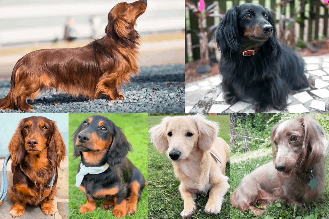 Long-haired dachshund colors