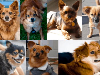 Pomeranian Dachshund Mix