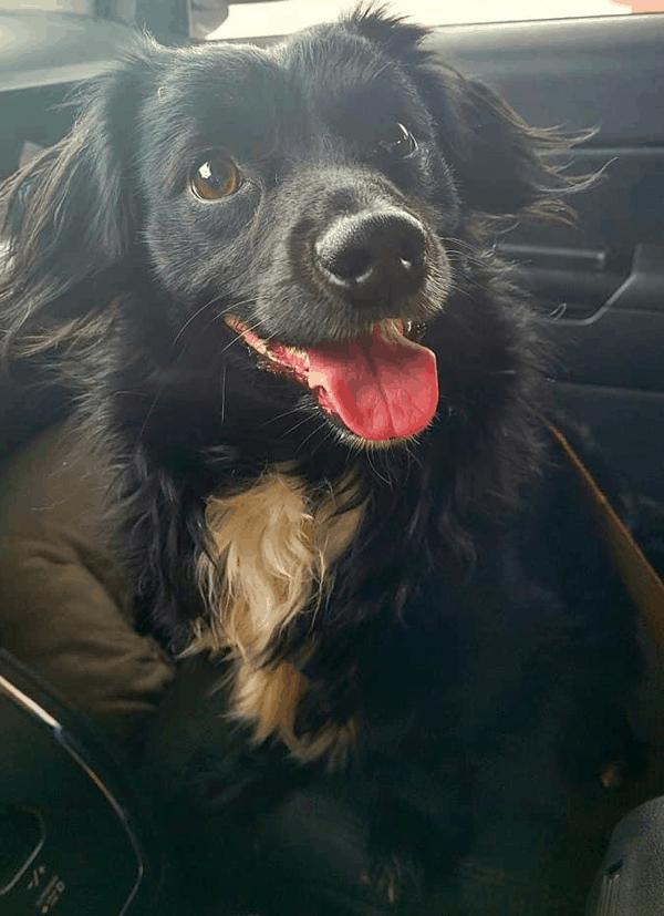 Pomeranian Weiner Dog Mix