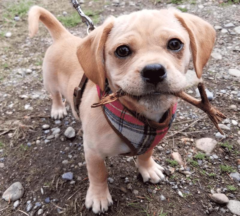 Pug Dachshund Mix Exercise