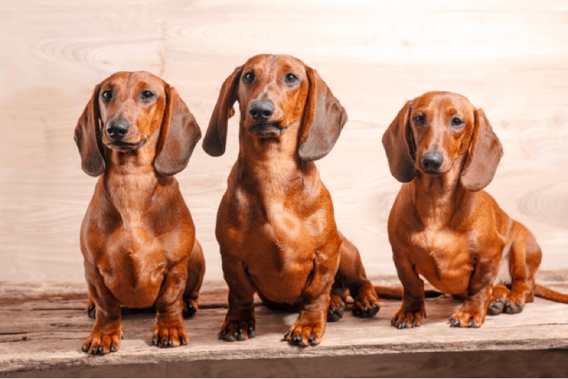 Red Dachshunds