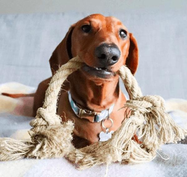 Rope and Tug Toys dachshund