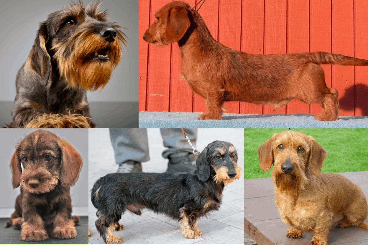 Wire-haired Dachshund Colors