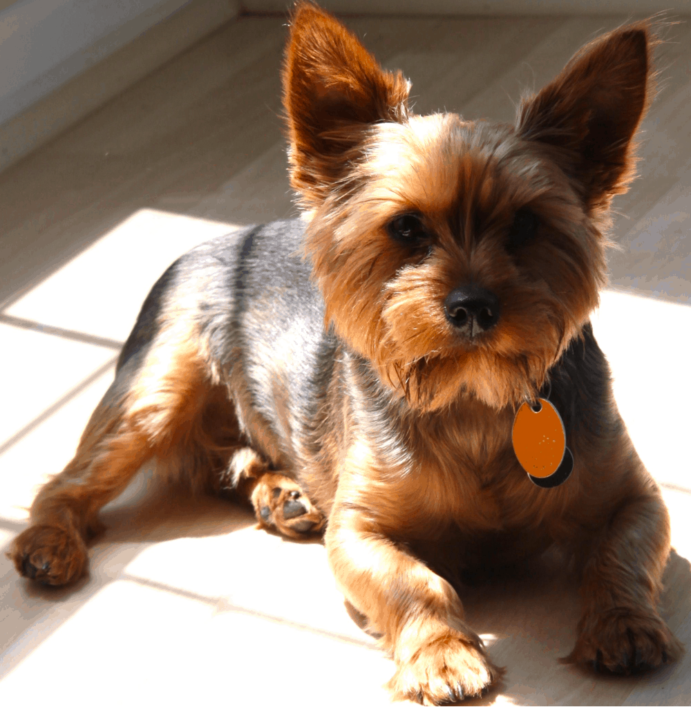 Wire-haired Dachshund Pomeranian Mix