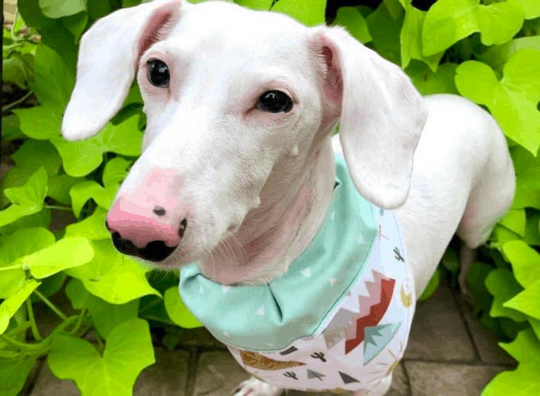 albino dachshunds