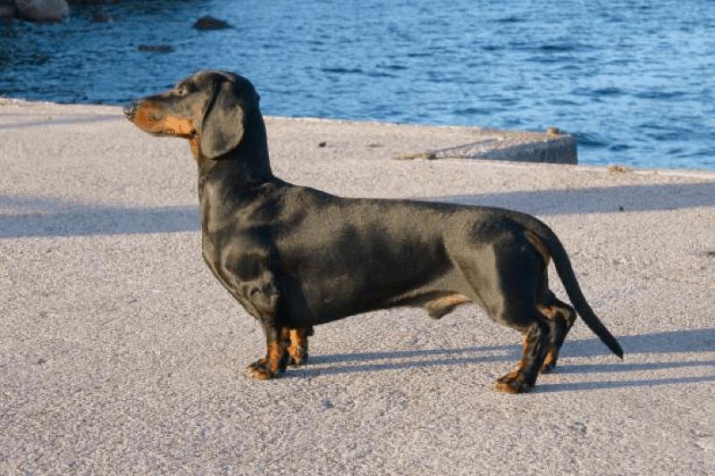 black and tan dachshunds