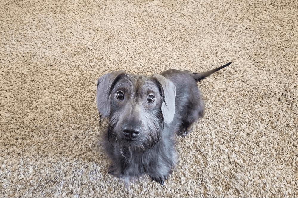 blue long haired dachshund