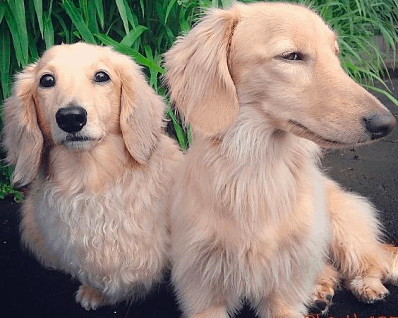 cream dachshunds