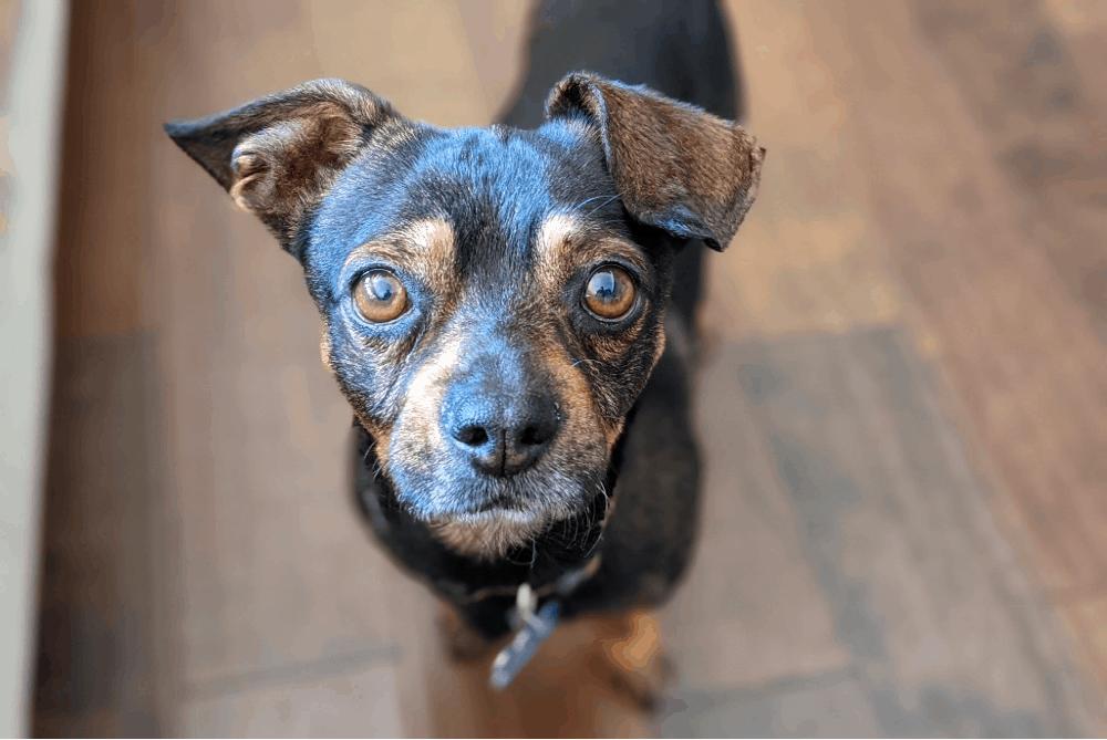 dachshund pug mix