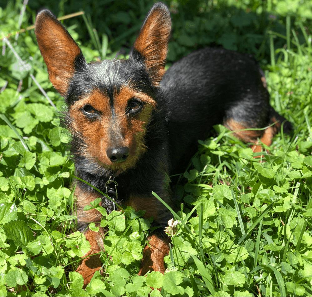 dachshund yorkie mix