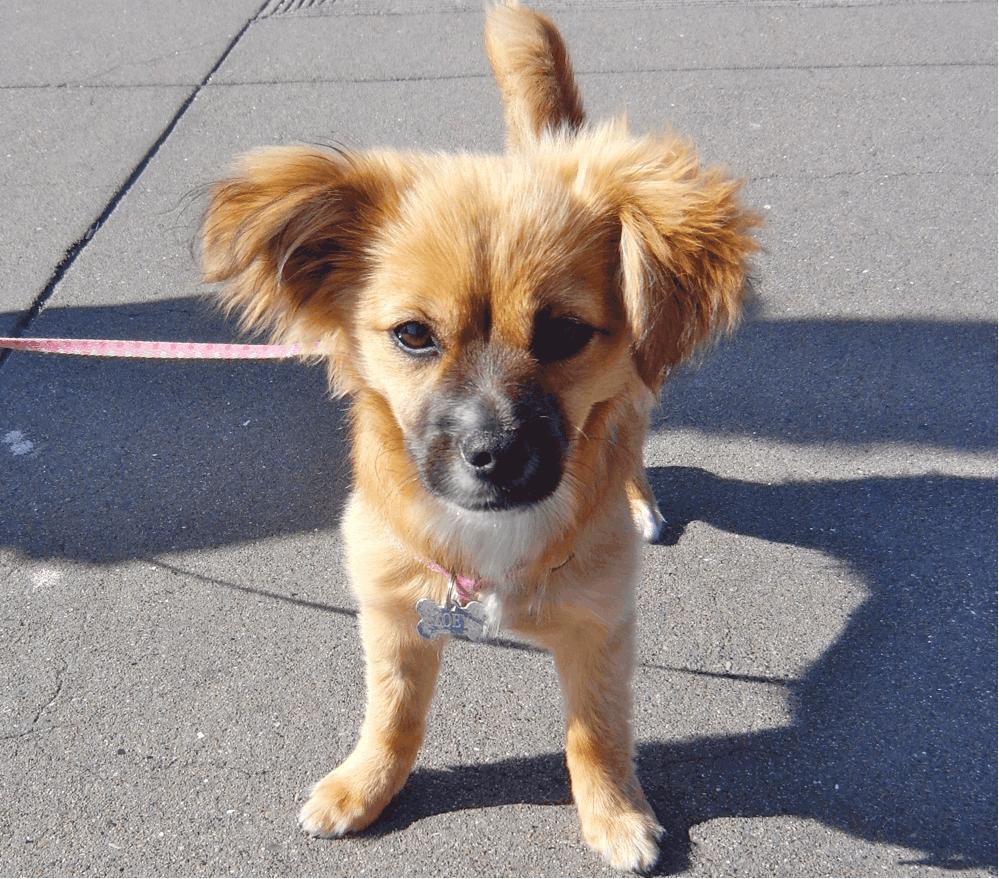 pomeranian dachshund mix puppy