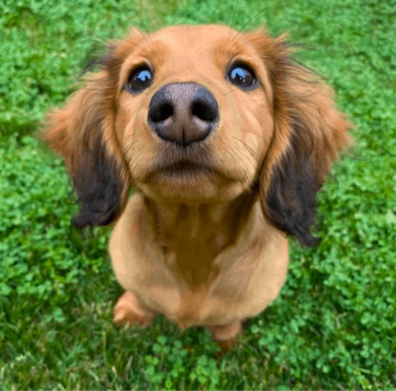 sable dachshund