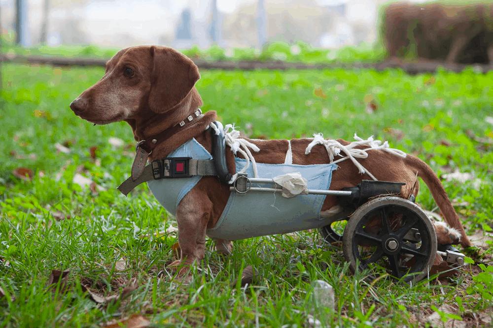 weiner dog wheelchair