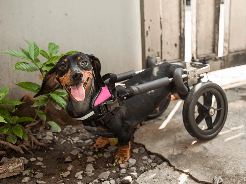 wheelchairs for dachshund