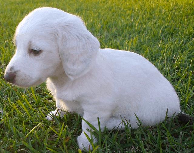 white dachshunds