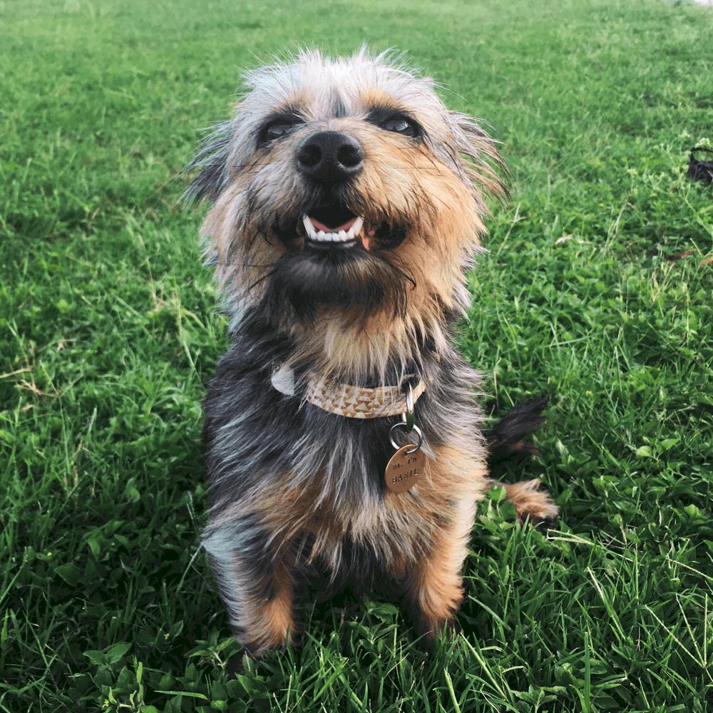 yorkie dachshund