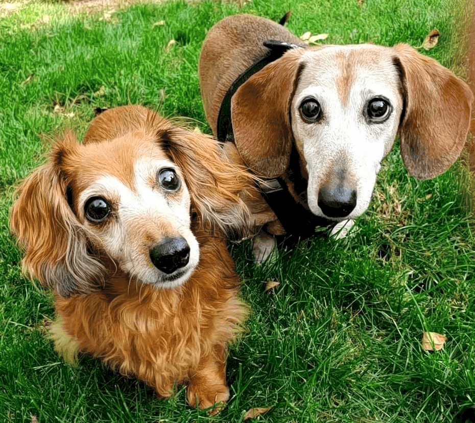 16 year old dachshunds