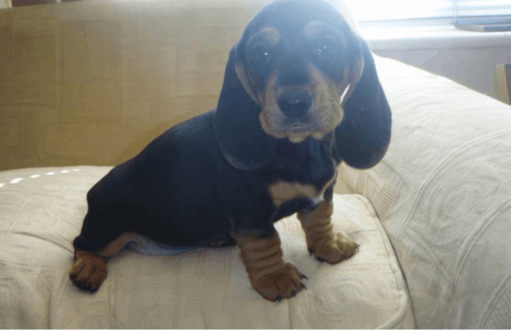 Basschshund Puppies