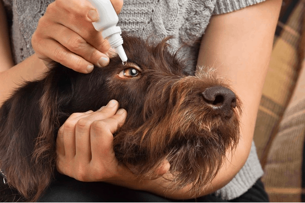 Best Eye Wash for Dachshunds