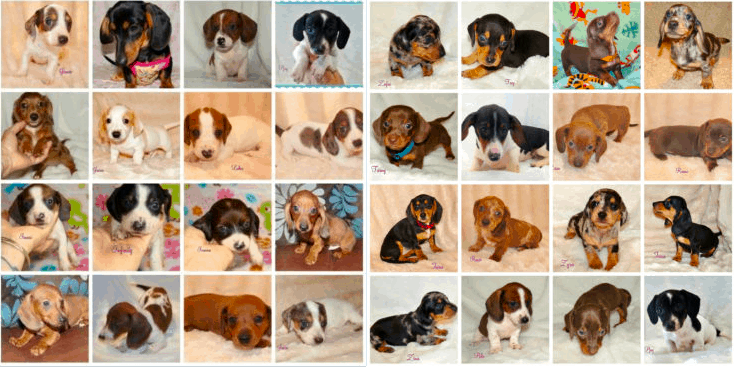 Breeder Colorful Dachshunds In California