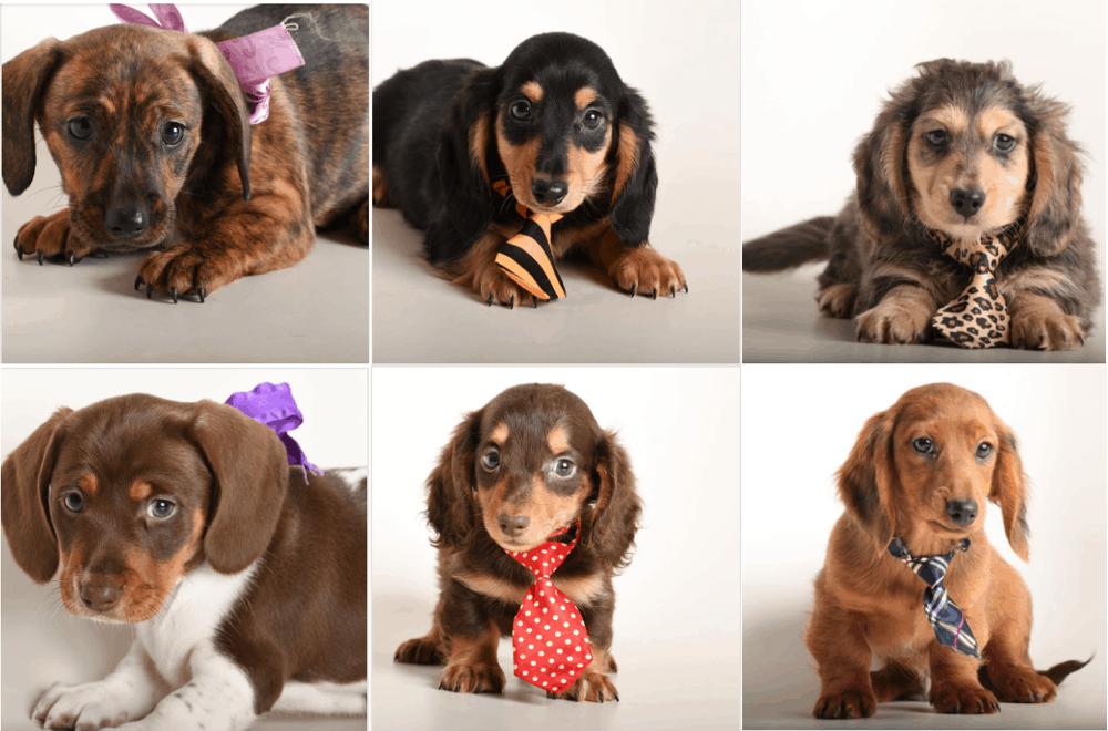 Cadillac Kennel - Dachshund Puppies in Missouri