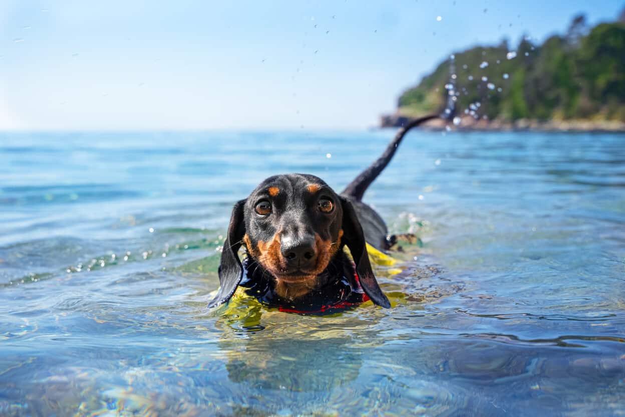 Can dachshunds swim?