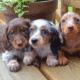 Dachshund Puppies in Missouri