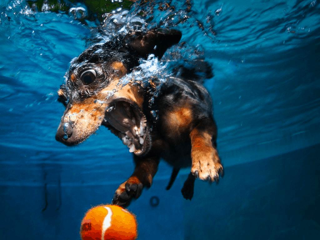 Dachshund swimming underwater