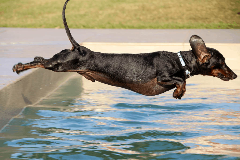 Do dachshunds like to swim