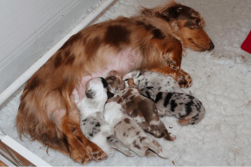 Double Dapple puppies