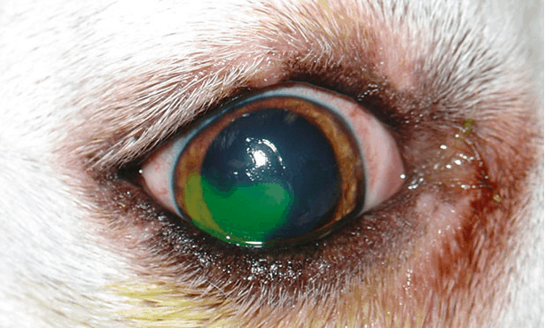 Eye ulcers in dachshunds