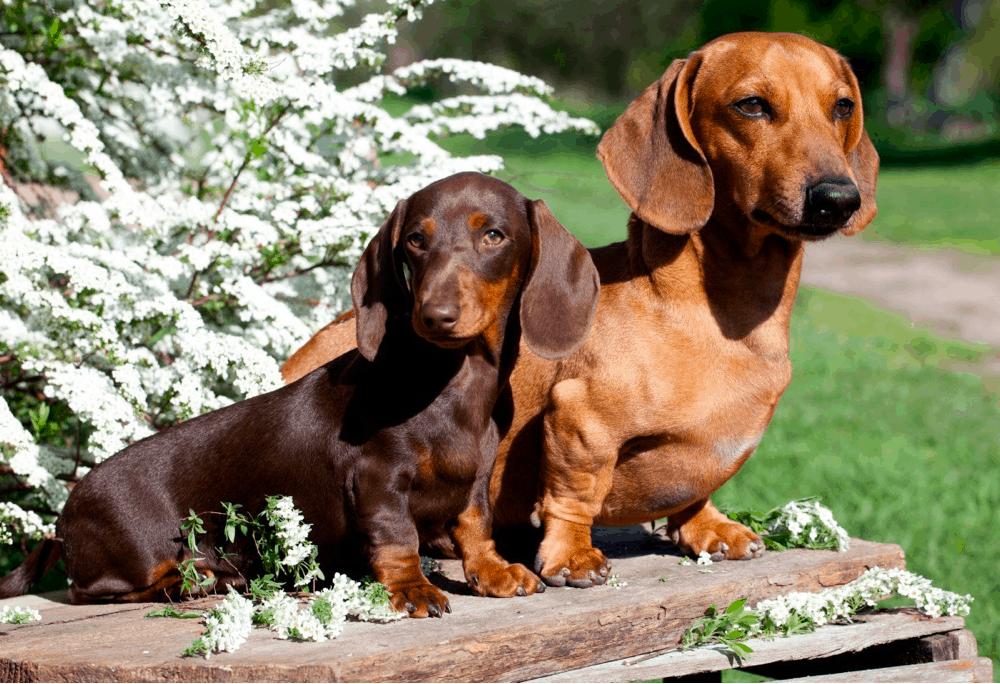 Full Grown Standard and miniature dachshunds