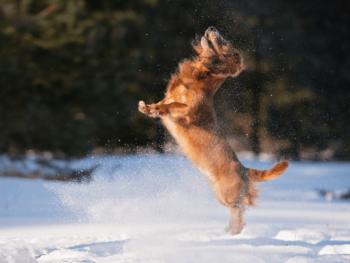 How High Can A Dachshund Jump