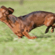 Is Running Bad for Dachshunds