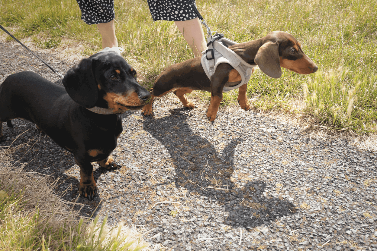No Pull Dog Harness for Dachshund