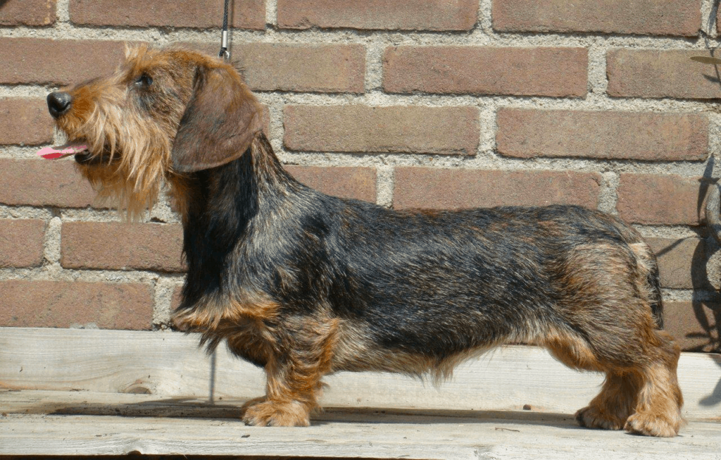 Rabbit wire-haired Dachshund