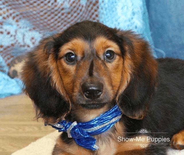 Show-MePuppies Dachshund Breeder in Missouri