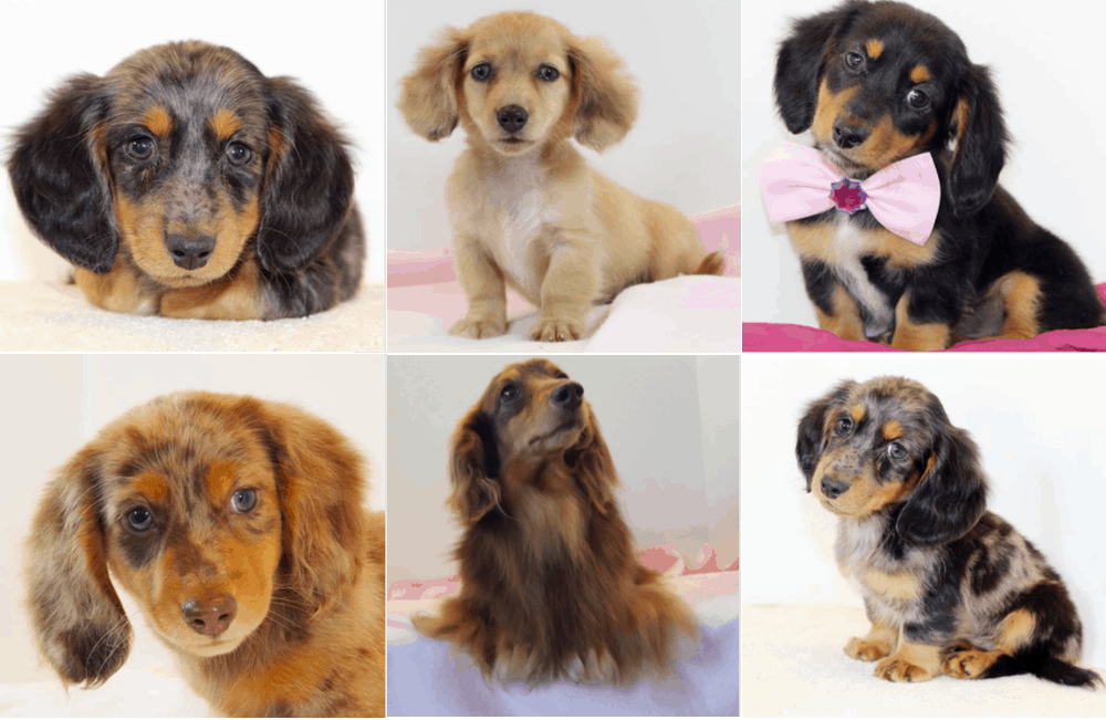 Southern Style Dachshund Puppies in Missouri
