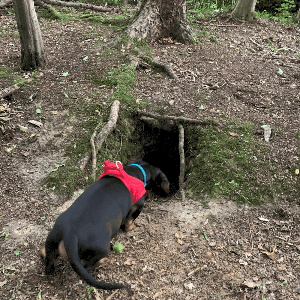 Standard Dachshund hunt badgers