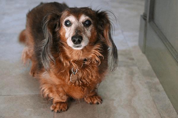 Vision Loss in Senior Mini Dachshunds