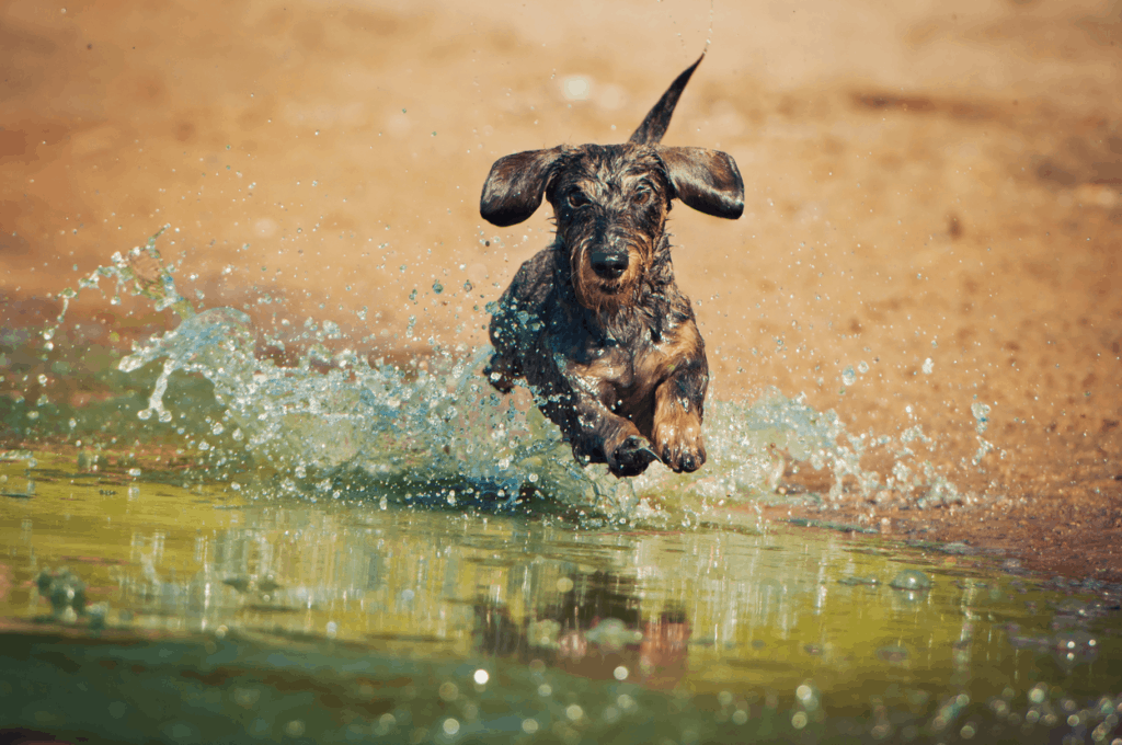 Wire-haired Dachshund jumping in the water