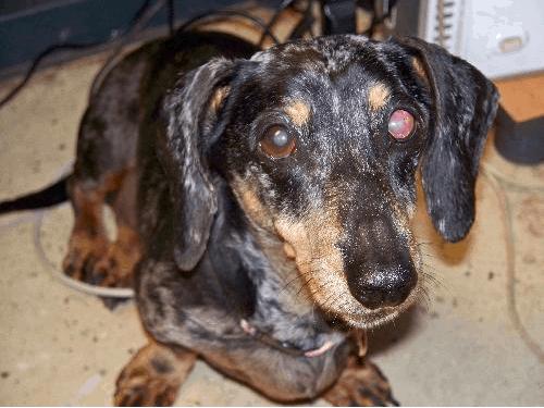 cataracts in dachshunds