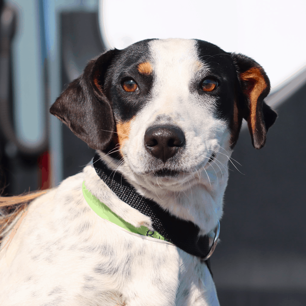 dachshund basset hound mix