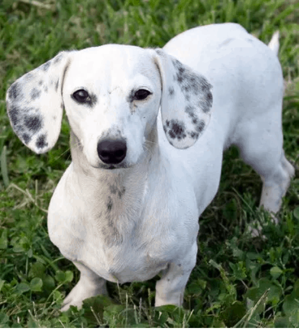 extreme piebald dachshund