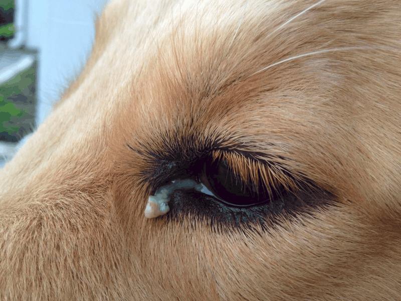 eye discharge in dachshund
