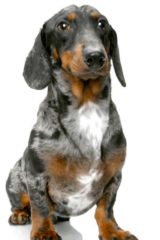 full grown standard dapple dachshund